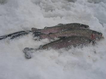 Rainbow troutIce fishing on Lakes